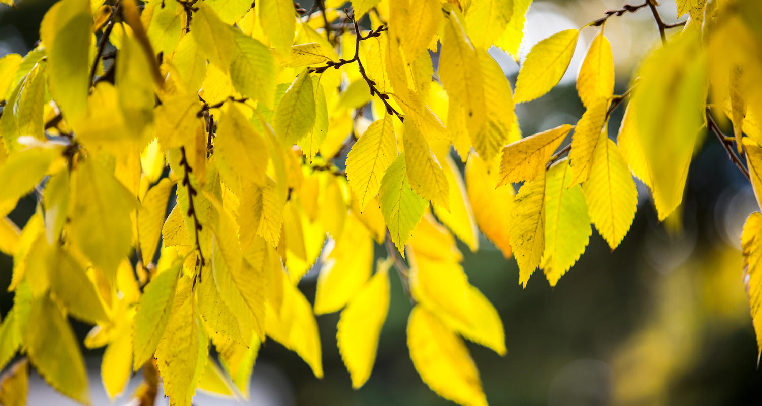 yellow leaves in the fall