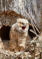 hungry baby owl screaming to be fed