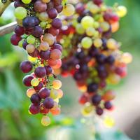 Cluster of grapes in vineyard