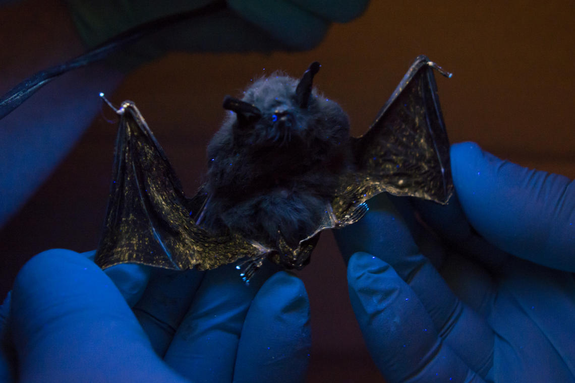 A bat with white-nose syndrome being examined under UV lighting.