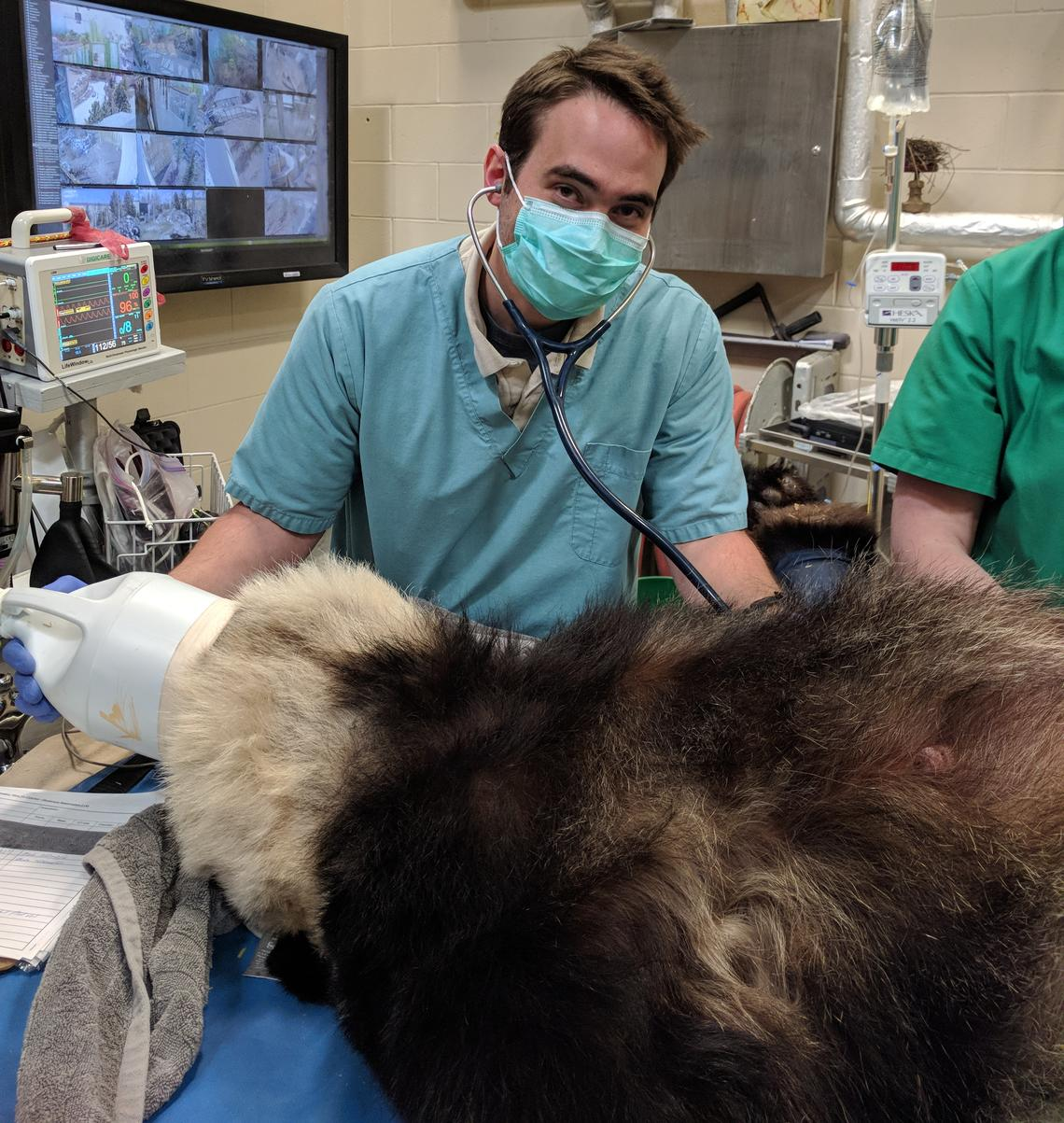 Jeff Lees, a fourth-year UCVM student on practicum rotation at the Calgary Zoo, had the opportunity to help monitor anesthesia on the panda and do a physical examination of her.
