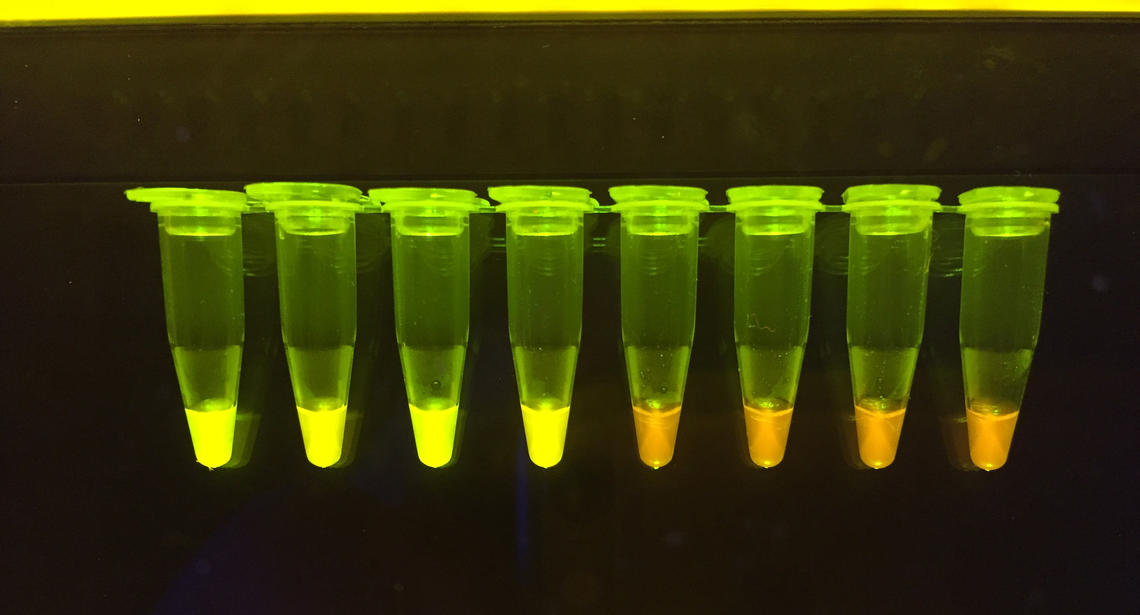 With this test, you can see a positive result for COVID-19 with the naked eye — the green-tipped ones are positive for the virus.