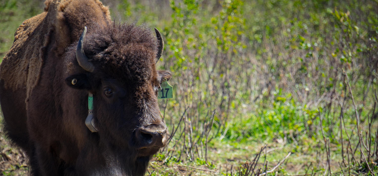 In the first phase of a long-term study, University of Calgary researchers will monitor the wild bisons' impact on vegetation. Bison #17 takes a break from grazing in the soft-release pasture located in Banff's Panther Valley.