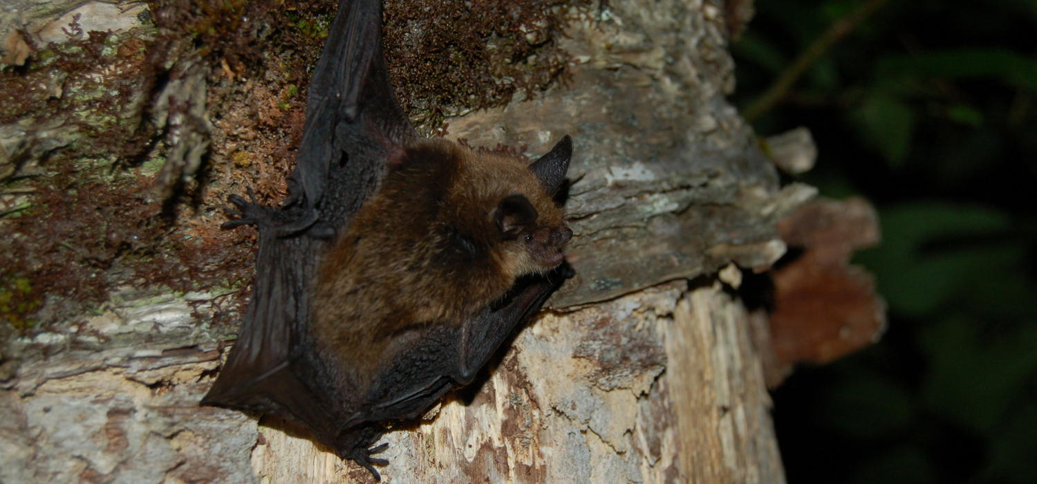 A Northern long-eared bat.  Photo courtesy Jordi Segers, CWHC