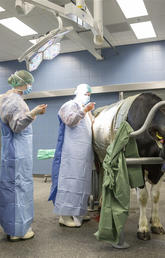 Veterinary medicine students during bovine surgery rotation